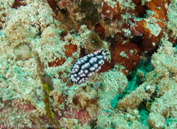 BD-080406-Bunaken-4061383-Phyllidiella-pustulosa-(Cuvier.-1804)-[Pustulose-phyllidiella].jpg